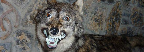 worst funny taxidermy smiling wolf