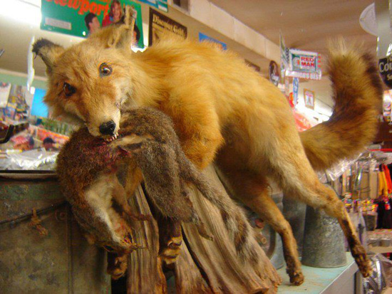 Worst Funny Taxidermy Fox Dose Of Funny