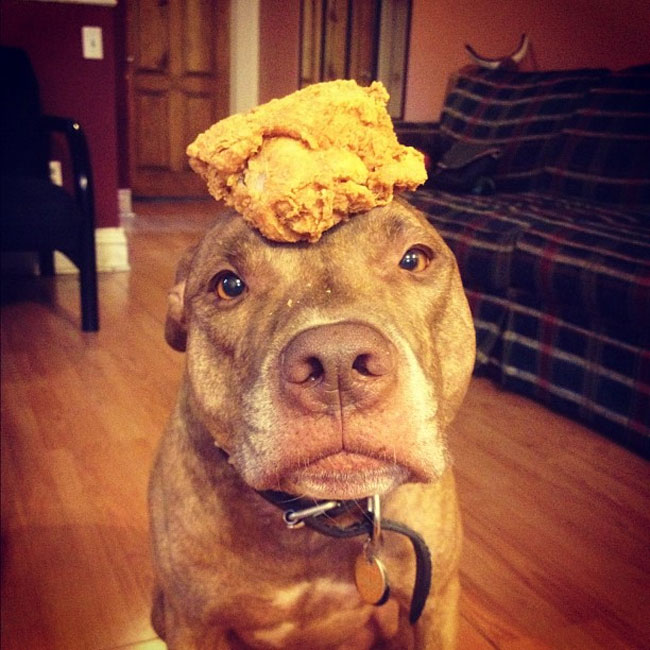 scout dog stacking stuff on head