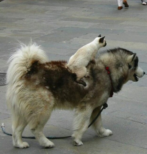 Cats on Dogs riding