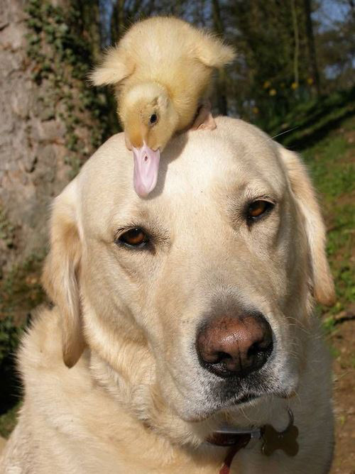 Cats on Dogs duck