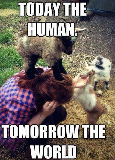 Funny Pictures goat conquers human