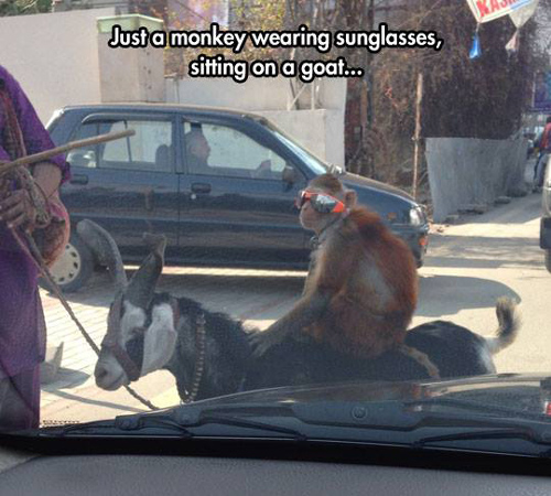 Funny Pictures monkey sunglasses goat