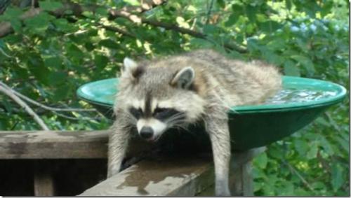 signs-its-hot-raccoon