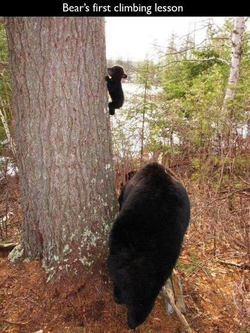 bear's first climbing lesson