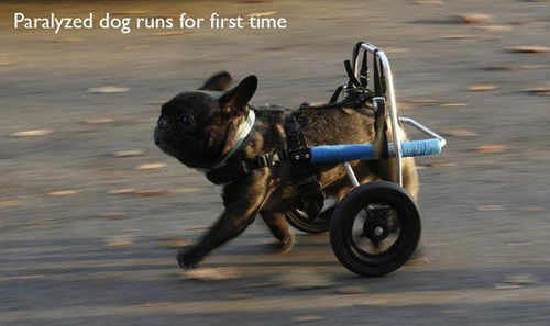 paralyzed dog's first run