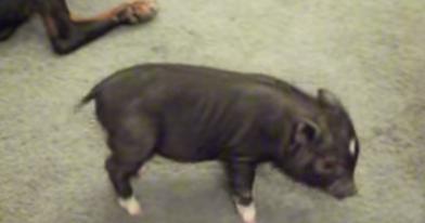 teacup pig video