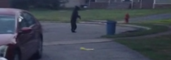 bear walking video