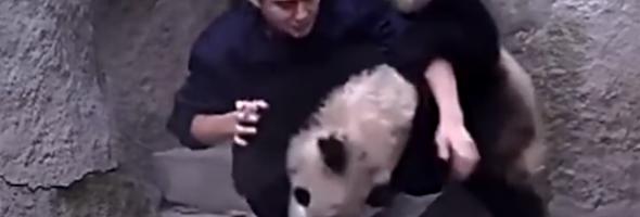 clingy pandas