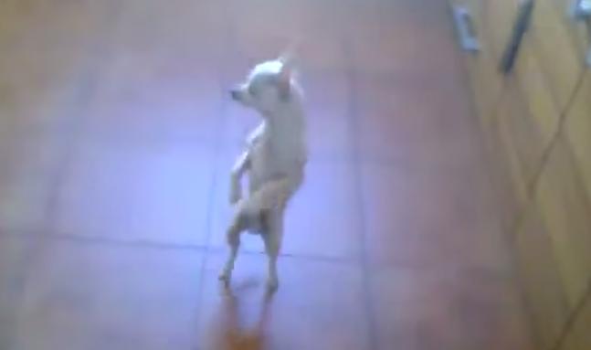 dancing chihuahua flamenco